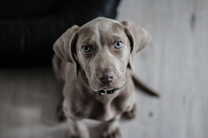 Pes a hypnotizující pohled