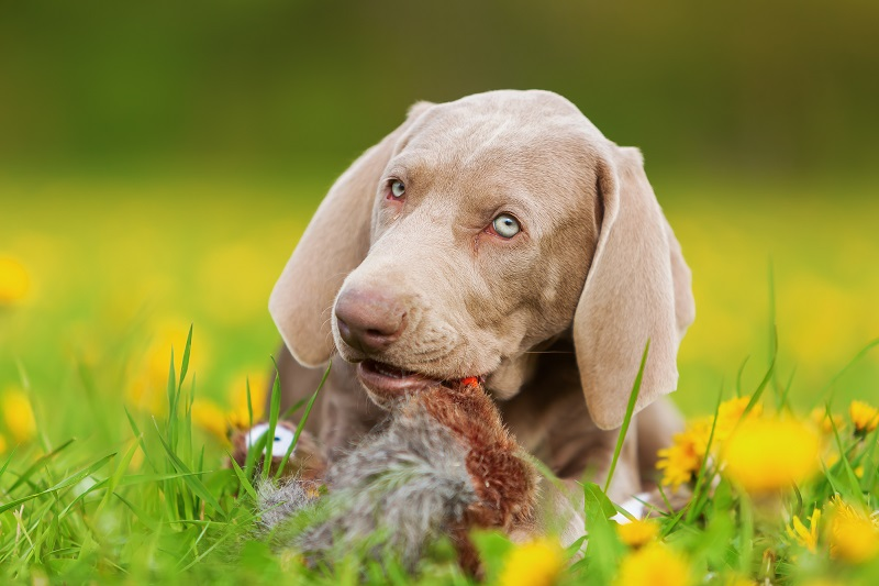 Aktivní psi a výmarský ohař