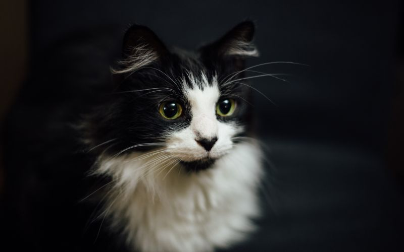 Černá huňatá kočka
