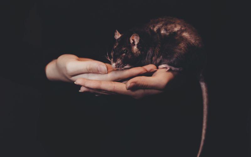 Inteligentní krysy