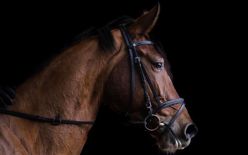 Vyšlechtěný kůň připraven na závod