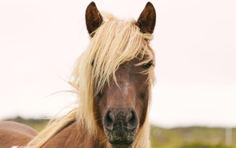 Kůň s blonďatou hřívou