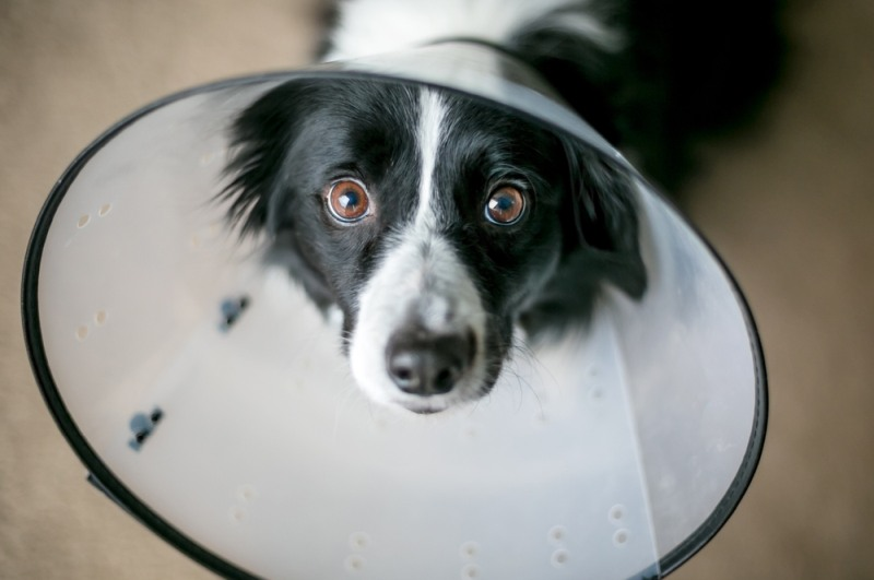 pes po operaci
